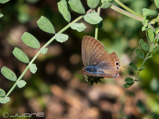 Lampides boeticus