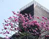 Blossoms in Bangalore