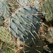 Pacific Crest Trail Cactus (5510)