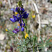 Pacific Crest Trail Flower (5505)