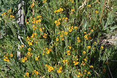 Pacific Crest Trail Flowers (5501)