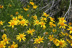 Pacific Crest Trail Flowers (5511)
