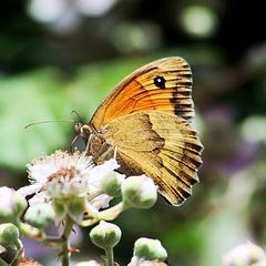 Il satiro dei nuraghi (Maniola nurag)Sardinian Meadow Brown
