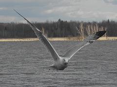 Les ailes grandes ouvertes