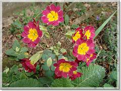 Primula elatior X Primula vulgaris