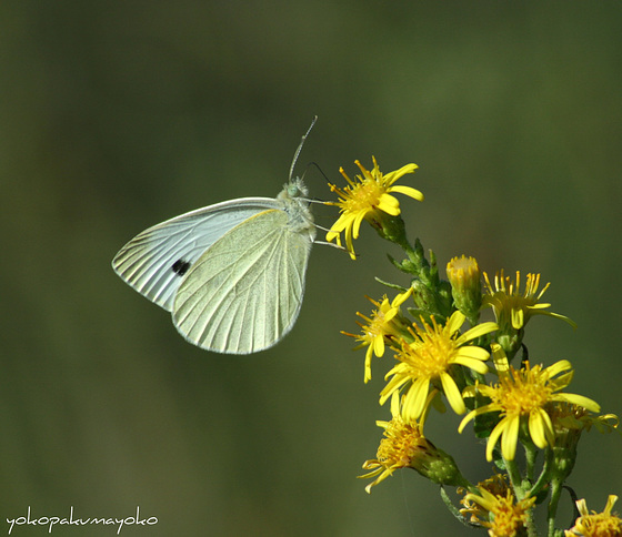 PIERIS brassicae-Cavolaia maggiore