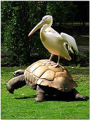 Schildkröten-Reiter