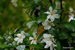 20070620-0356 Gardenia gummifera L.f.