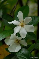 20070620-0357 Gardenia gummifera L.f.