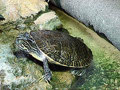 20071009 0310aw Zierschildkröte