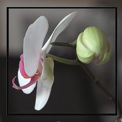 Profil d'orchidée