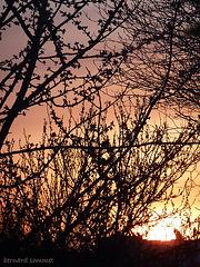 Cerisier en feu