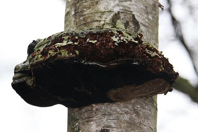 20100225 1469aw Porling, Pilz Großes Torfmoor