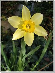 Narcissus hybride