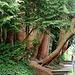 20070424 0170DSCw [R~D] Urweltmammutbaum (Metasequoia glyptostroboides), Insel Mainau