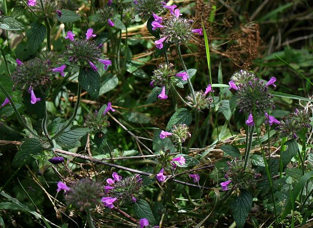 Clinopodium vulgare -Calament clinopode