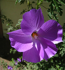 Blue Hibiscus 'Alyogyne huegelii' (5610)
