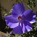 Blue Hibiscus 'Alyogyne huegelii' (5610A)