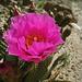 Cactus Flower (5581)