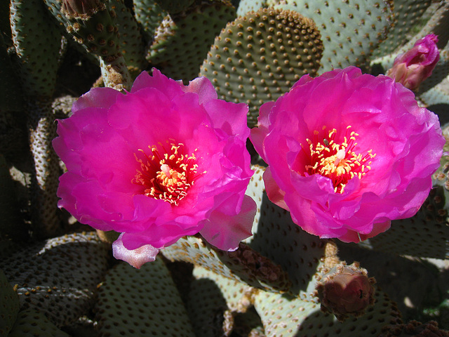 Cactus Flowers (5591)