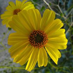 Flower in Mecca Hills (5578)