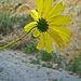 Flower in Mecca Hills (5579)