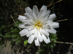 Flower in Mecca Hills (5588)