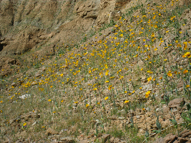 Flowers in Mecca Hills (5590)