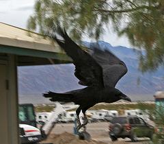 Raven (5068)
