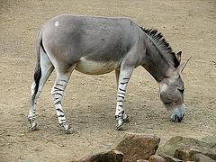 20090611 3183DSCw [D~H] Afrikanischer Wildesel (Equus afrikanus), Zoo Hannover