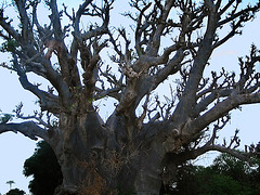 123 2355bc One of the Biggest Baobab of the Region