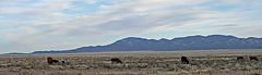 Cattle Grazing Near The Very Large Array (5559)