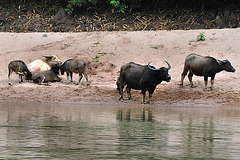 Buffalos relax on the riverside of Nam Ou