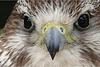 Faucon face