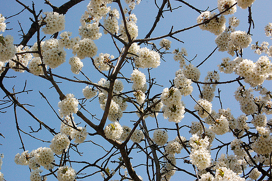 ĉerizarba florado