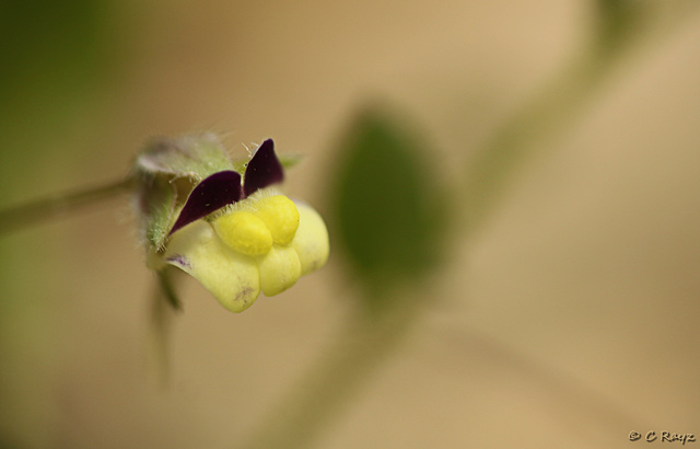 Sharp-leaved Fluellen