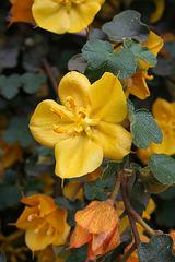 L.A. Garden Tour - Flannel Bush (6581)