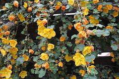 L.A. Garden Tour - Flannel Bush (6639)