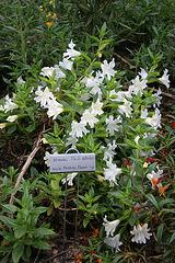 L.A. Garden Tour - White Monkey Flower (6608)