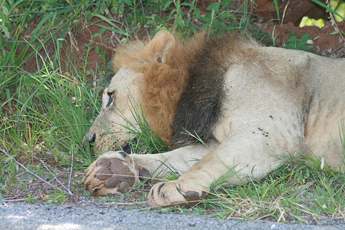 Lion Snoozing in a Ditch