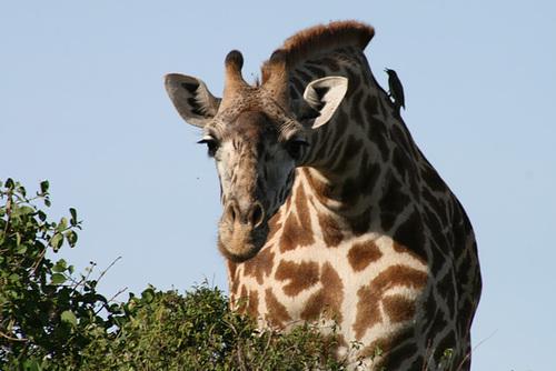 An Inquisitive Giraffe