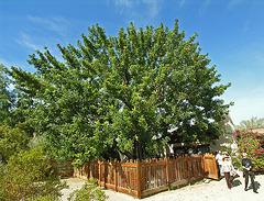 Smoke Tree Ranch Carob Tree (8825)