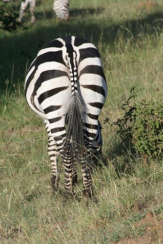 A Stripey Behind