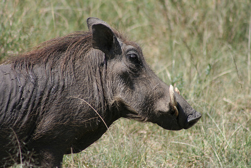 Another Warthog
