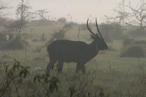 A Waterbuck in the Morning Mist