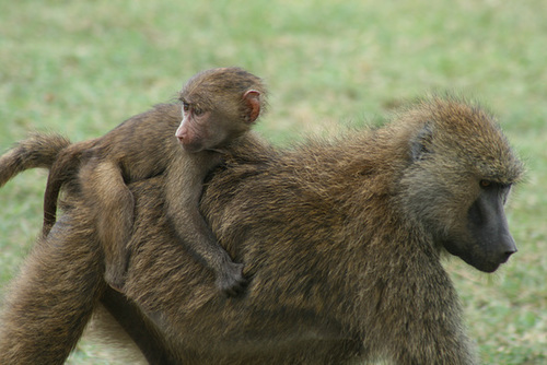 Piggy-Back Ride for a Baboon Baby