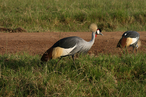 Grey Crowned Cranes