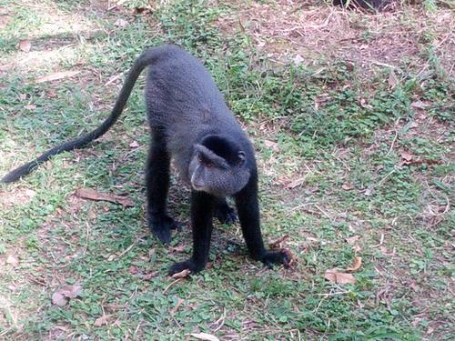 Cheeky Blue Monkey