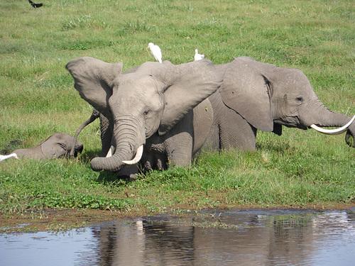 An Elephant Shaking Its Ears