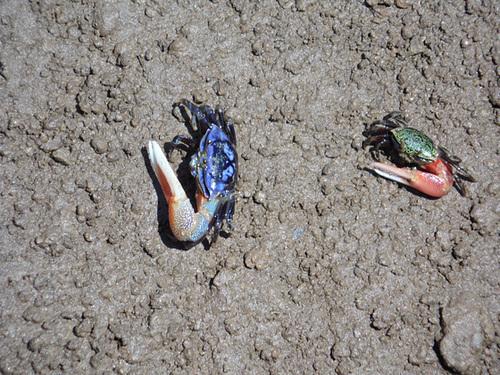 Asymmetrical Crabs